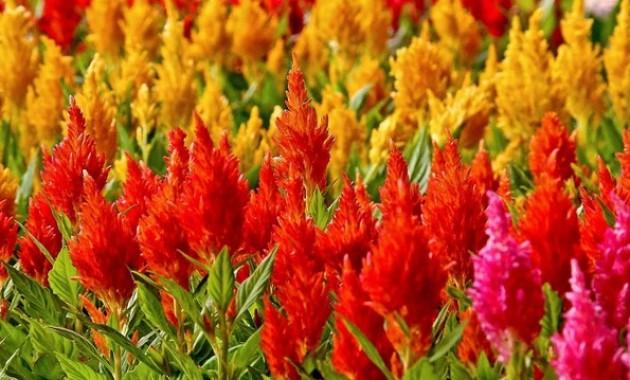 lokasi taman bunga celosia