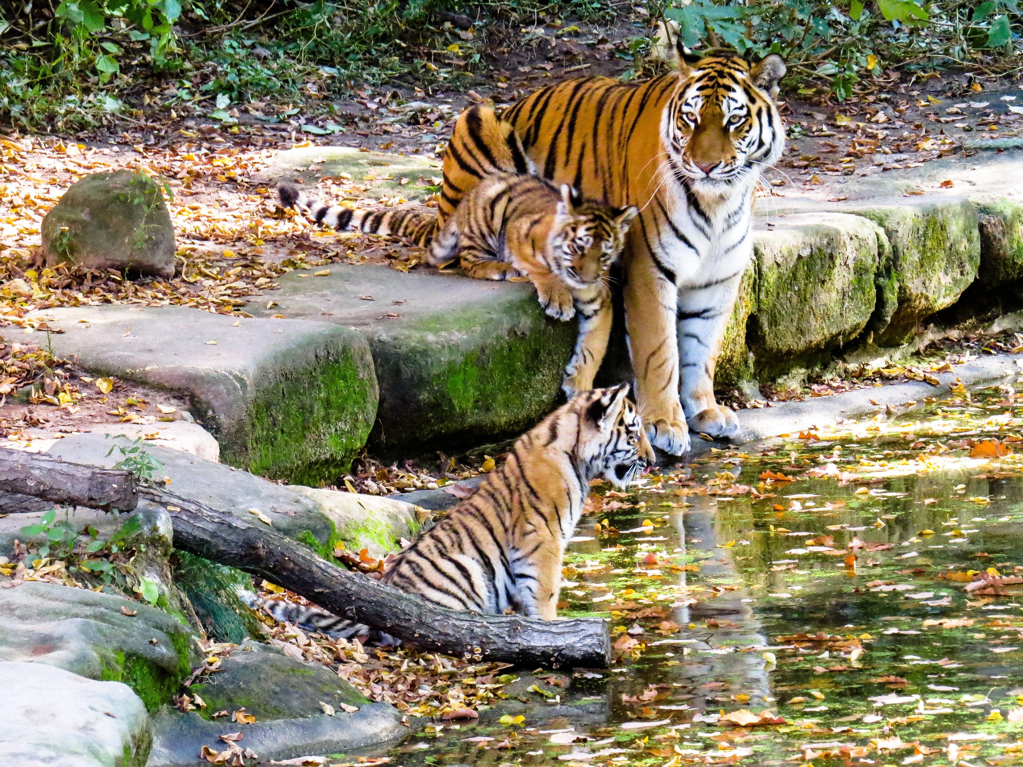 Apa Fungsi Kumis Pada Harimau