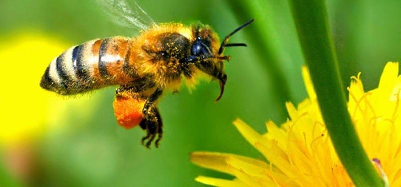 Mengapa Lebah Menyengat