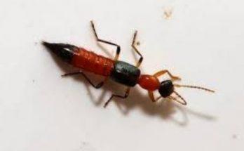 Semut Charlie Fakta Bahaya dan Penanganannya